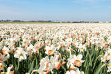 Narcissus field in the Netherlands. In May is a local attraction for the tourists Stock Photography