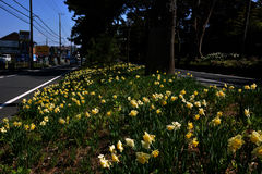 Narcissus flowe / Japanese Landscape in March. Narcissus flowers in the median strip of the road will be in full bloom in March, making people happy with cars Royalty Free Stock Photos