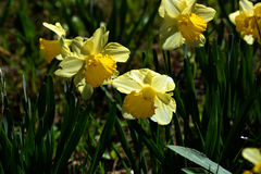 Narcissus flowe / Japanese Landscape in March. Narcissus flowers in the median strip of the road will be in full bloom in March, making people happy with cars Stock Photography