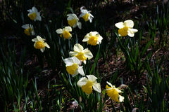 Narcissus flowe / Japanese Landscape in March. Narcissus flowers in the median strip of the road will be in full bloom in March, making people happy with cars Stock Images