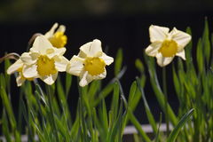 Narcissus flowe / Japanese Landscape in March. Narcissus flowers in the median strip of the road will be in full bloom in March, making people happy with cars Royalty Free Stock Photo