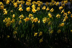 Narcissus flowe / Japanese Landscape in March. Narcissus flowers in the median strip of the road will be in full bloom in March, making people happy with cars Stock Photos