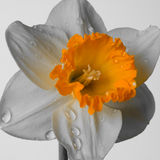 Narcissus flower Stock Images