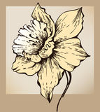 Narcissus flower. Yellow. Vector Illustration Royalty Free Stock Images