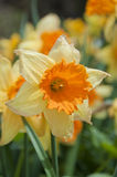 Narcissus flower Stock Image
