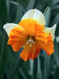 Narcissus flower Royalty Free Stock Photos