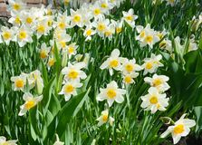Narcissus flower also known as daffodil, daffadowndilly, narcissus, and jonquil. Springtime stock photos