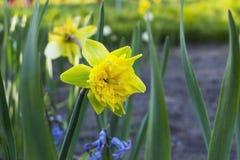 Narcissus Flower amarillo Imágenes de archivo libres de regalías