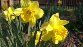 Narcissus Flower amarillo almacen de metraje de vídeo