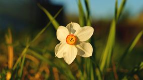 Narcissus flower Stock Photos