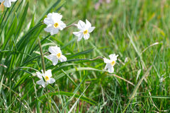 Narcissus flower on a beautiful spring day in green meadow Stock Image