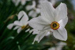 Narcissus group on garden, daffodil bloom in spring time. stock photography