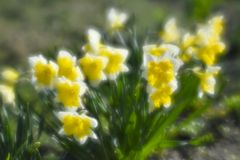 Narcissus in the flower bed in spring. The first garden flowers. The photo was taken on a soft lens, blurring art royalty free stock photography