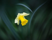 Narcissus flower on blurred grass background Stock Photo