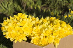 Narcissus flower in a box on the street Stock Image