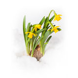 Narcissus flower breaking through the snow Stock Photography