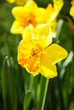 Narcissus flower close-up Stock Photo