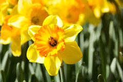 Narcissus flower close-up Stock Photos
