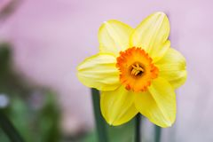 Narcissus flower close up view spring time. Image stock images