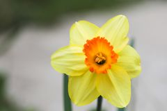 Narcissus flower close up view spring time. Image royalty free stock photo
