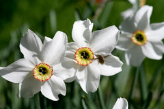 Narcissus flower closeup Stock Image