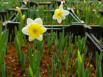 Narcissus flower at farm Stock Image
