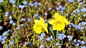 Narcissus Flower In Fresh Green Grass stock footage