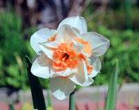 Narcissus flower in the garden Royalty Free Stock Photos