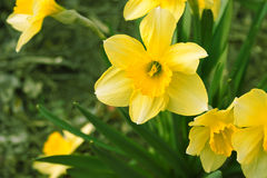 Narcissus flower in garden. Yellow daffodil. Royalty Free Stock Photos