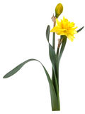 Narcissus Flower Iisolated Royalty Free Stock Photography