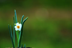 Narcissus flower isolated on grass backround. White Narcissus flower isolated on grass background Stock Image