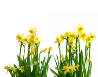Narcissus flower isolated on white Royalty Free Stock Image