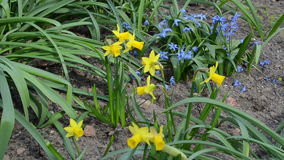 Narcissus flower move stock footage