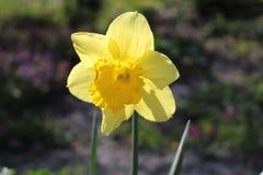 Narcissus Flower (Narcissus Pseudonarcissus) Stockbild