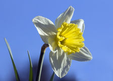 The Narcissus Flower Stock Photography