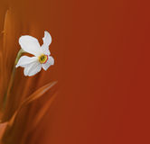 Narcissus flower on red Royalty Free Stock Photography