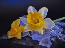 Narcissus Flower, rief häufiger Daffodil, auf Eis an lizenzfreie stockfotos