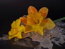 Narcissus Flower, rief häufiger Daffodil, auf Eis an stockfotos