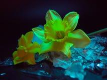 Narcissus Flower, rief h?ufiger Daffodil, auf Eis an stockfotos