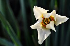 Narcissus flower Royalty Free Stock Images