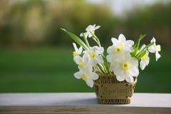 Narcissus flower. Spring flower in flower pot. Narcissus flower. Spring flower in flower pot Royalty Free Stock Photos