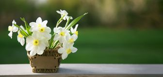 Narcissus flower. Spring flower in flower pot.  royalty free stock image
