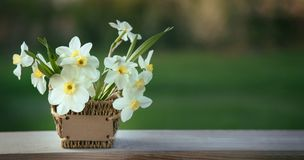 Narcissus flower. Spring flower in flower pot.  royalty free stock photos