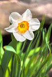 Narcissus flower on spring Royalty Free Stock Images