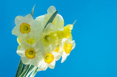 Narcissus flower in water with air bubbles on blue background Royalty Free Stock Photos