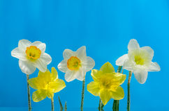 Narcissus flower in water with air bubbles on blue background Royalty Free Stock Photography