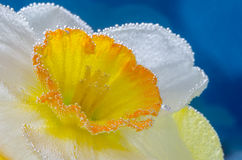 Narcissus flower in water with air bubbles on blue background Stock Photo