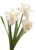 Narcissus flower on white Royalty Free Stock Images