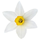 Narcissus flower on white Stock Photos