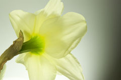 Narcissus flower Royalty Free Stock Photo